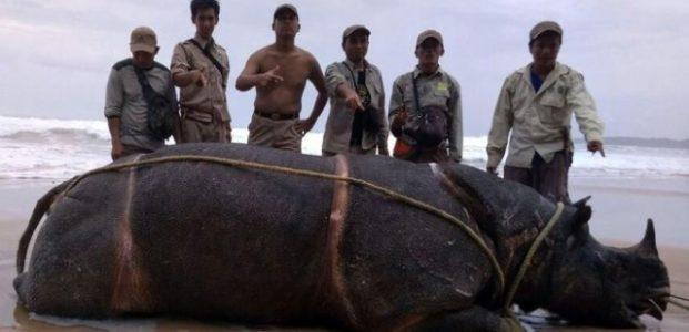 Samson dari Ujung Kulon Ditemukan Mati di Pulau Handeleum